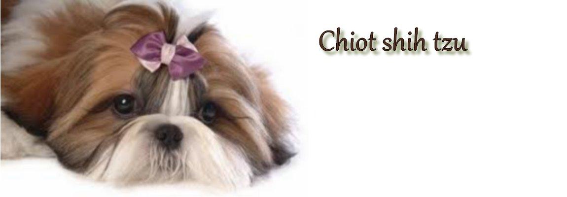 Chiot shih tzu
