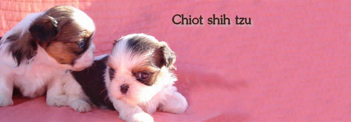 Chiots shih tzu